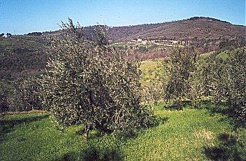 olivifiren1.jpg