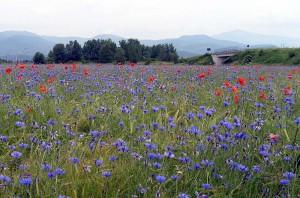 Ballata del fiore azzurro