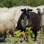 Attualismi 1 – La Gelmini e le pecore nere