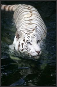 La tigre nella giungla
