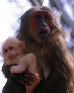 Macaca_arctoides_mère_et_bébé