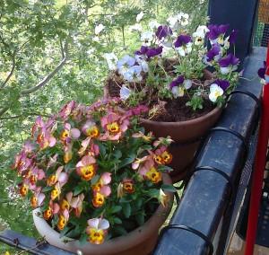 viole tricolor mie