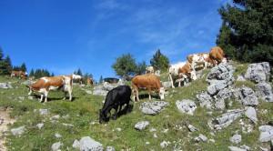vacche al pascolo alle malghe