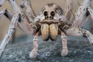 8male-wolf-spider